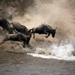 Wildbeestes dip into River Mara