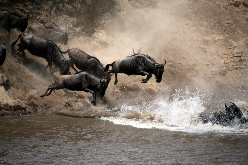 Wildbeestes dip into River Mara ; source - voices.nationalgeographic.com