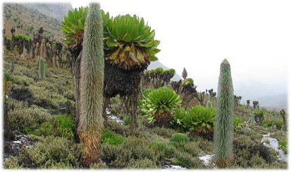 Mount Kenya Vegetation