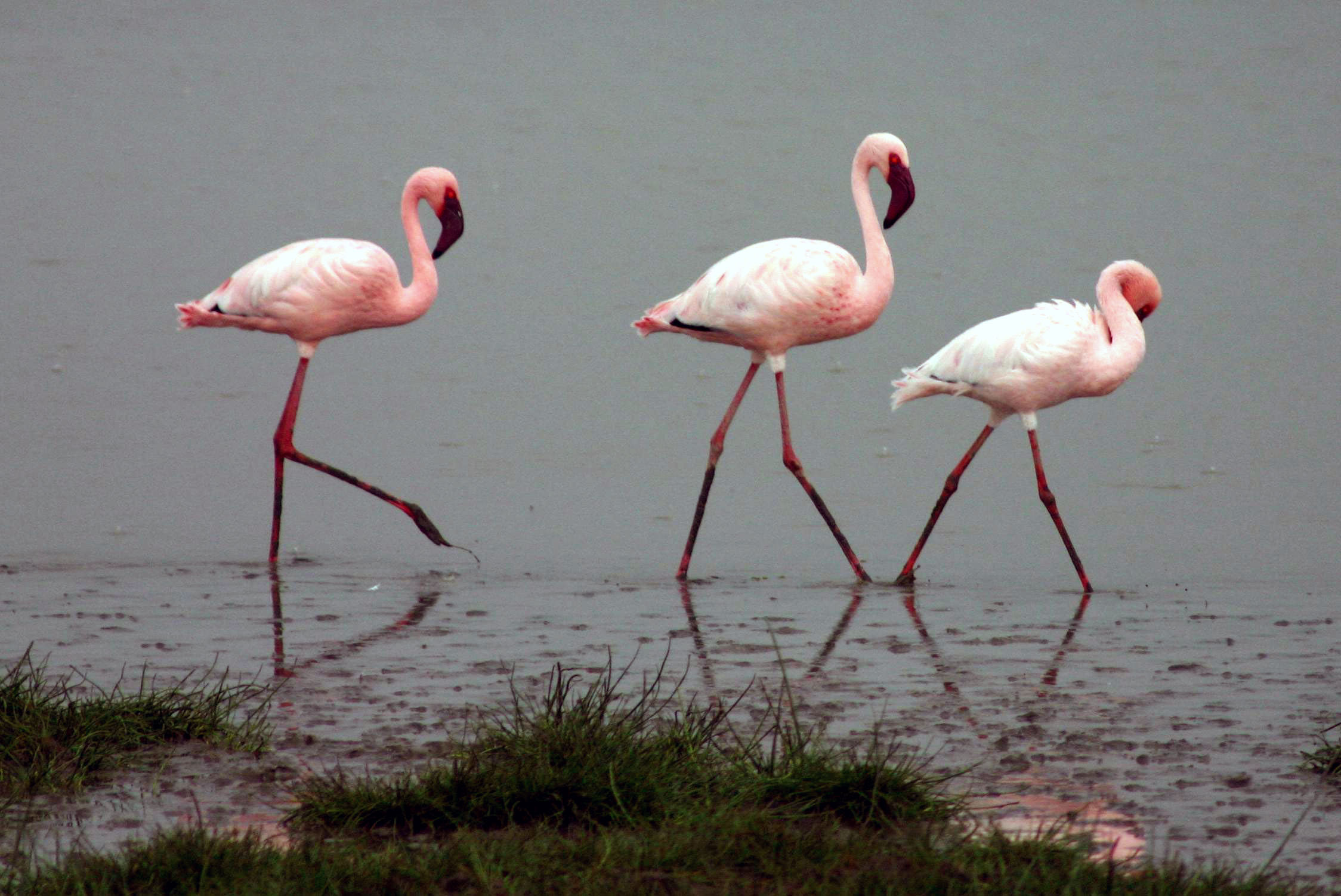pink Lesser-flamingos