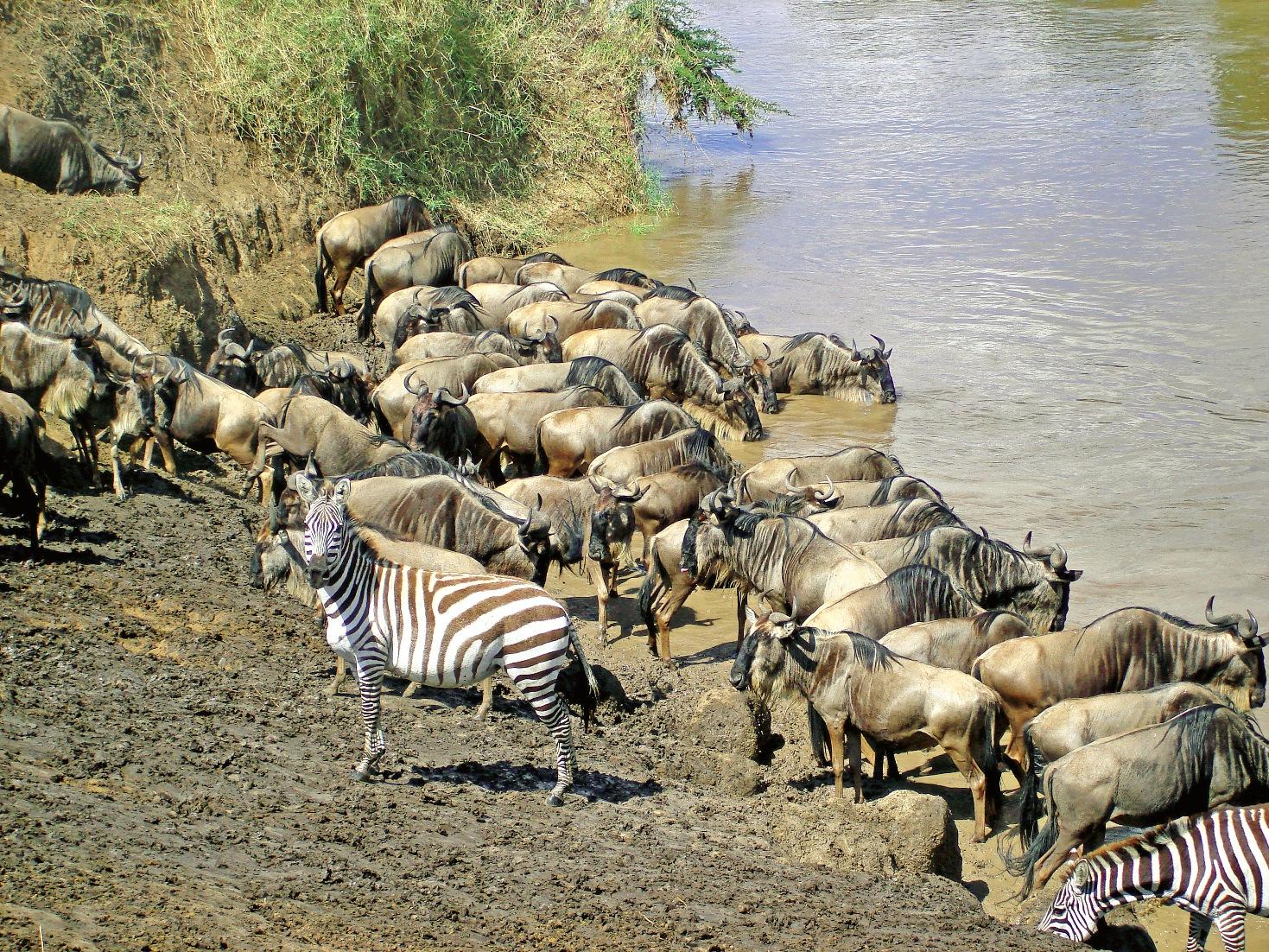 Wildebeests and Zebras along River Mara, source; travel discover Kenya