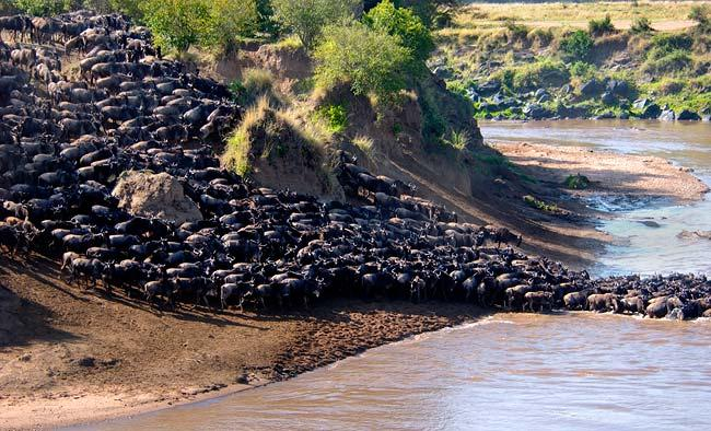 The annual wildebeest migration source: nationalgeographic.com