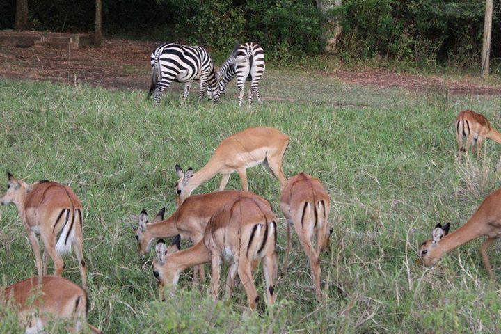 impala sanctuary - image; kenyapage.net