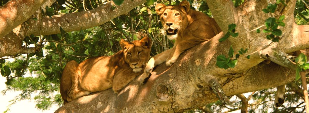 lionqueen_elizabeth_national_park_adven