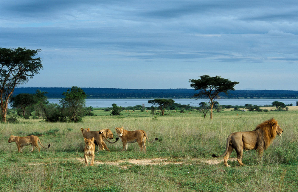 Lions at Murchison Falls National Park, image source; mountaingorillalodge.com