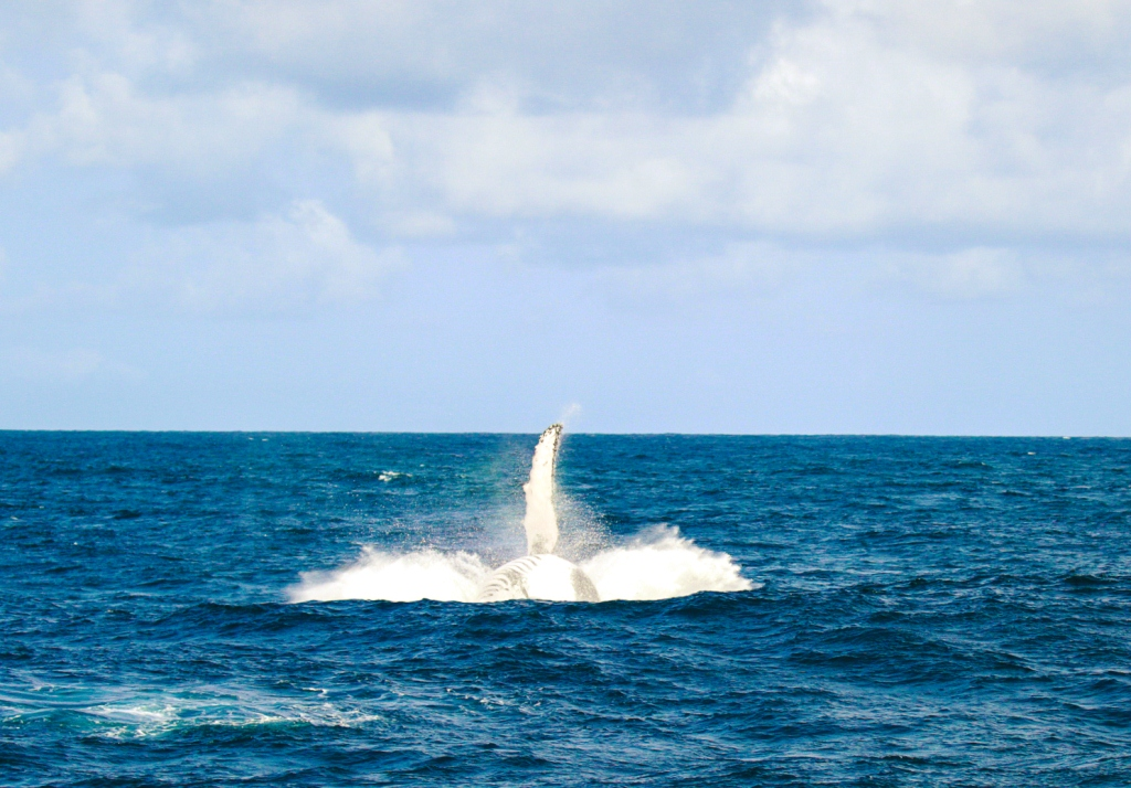 whale_breaching_watamu